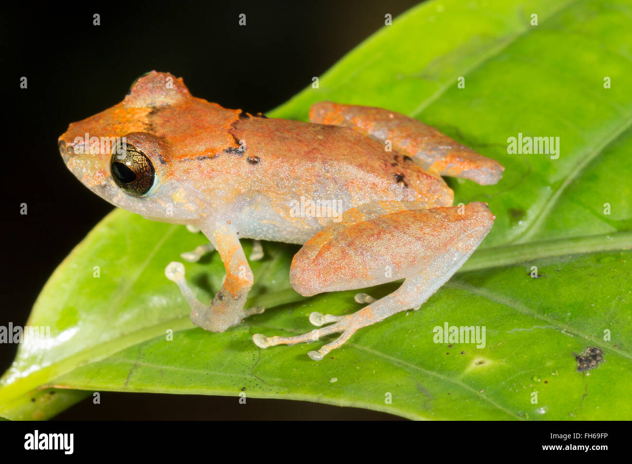 Kichwa Rain Frog (Pristimatis kichwarum) in the rainforest, Pastaza province, Ecuador Stock Photo