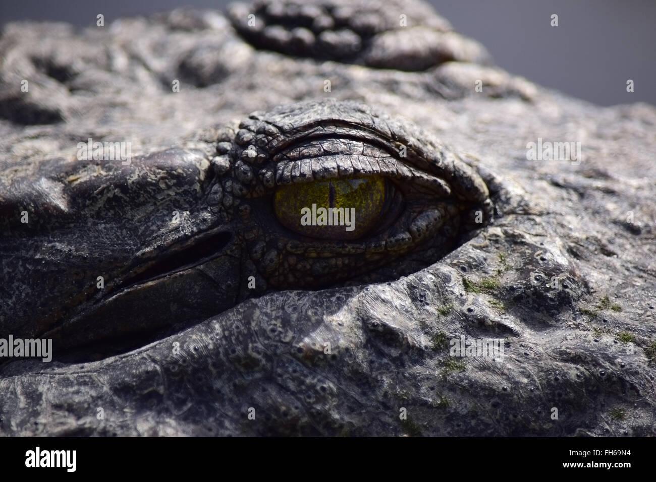 Crocodile Eye Closeup Detail - Stock Image