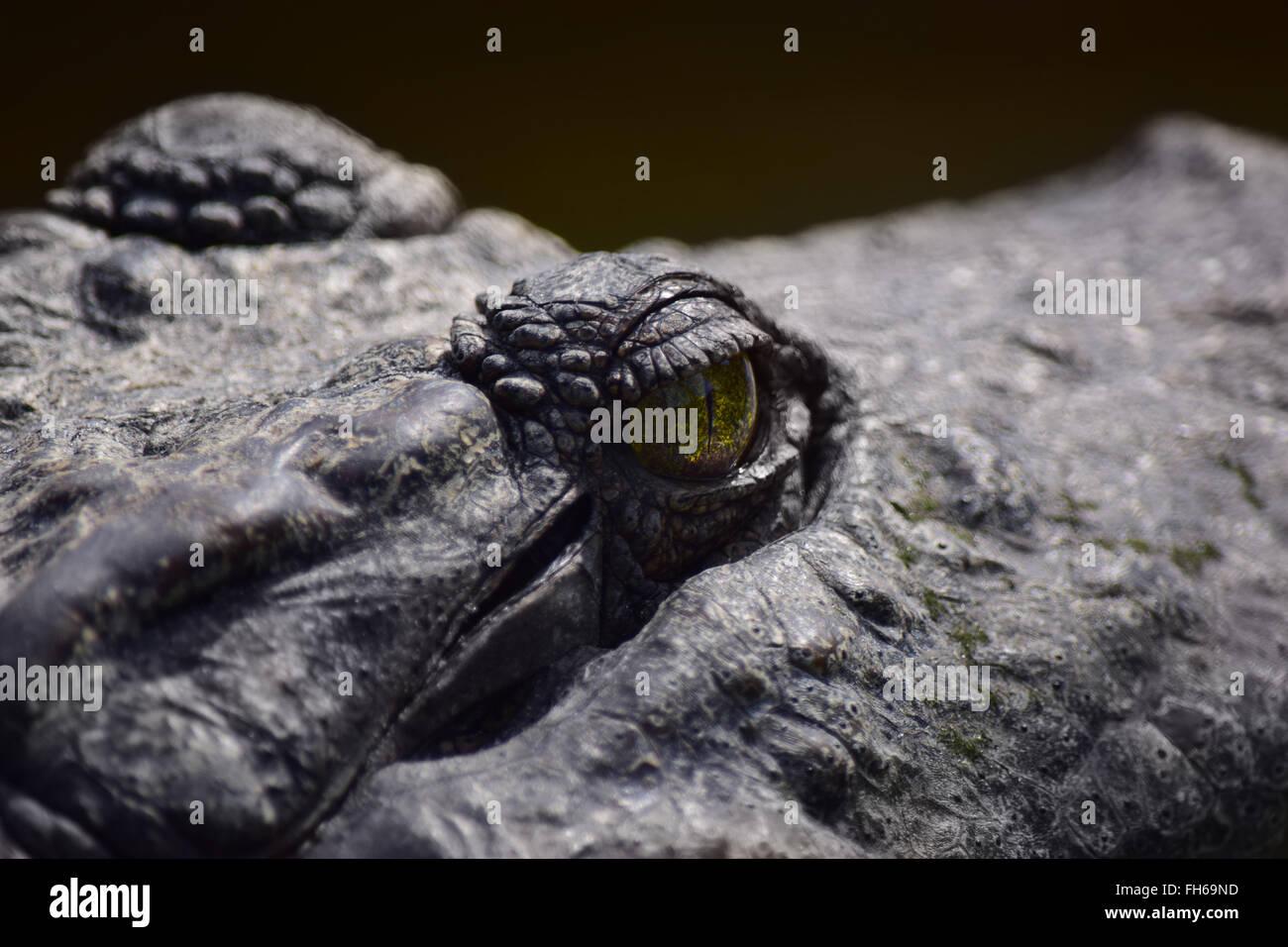 Crocodile Eye Closeup - Stock Image