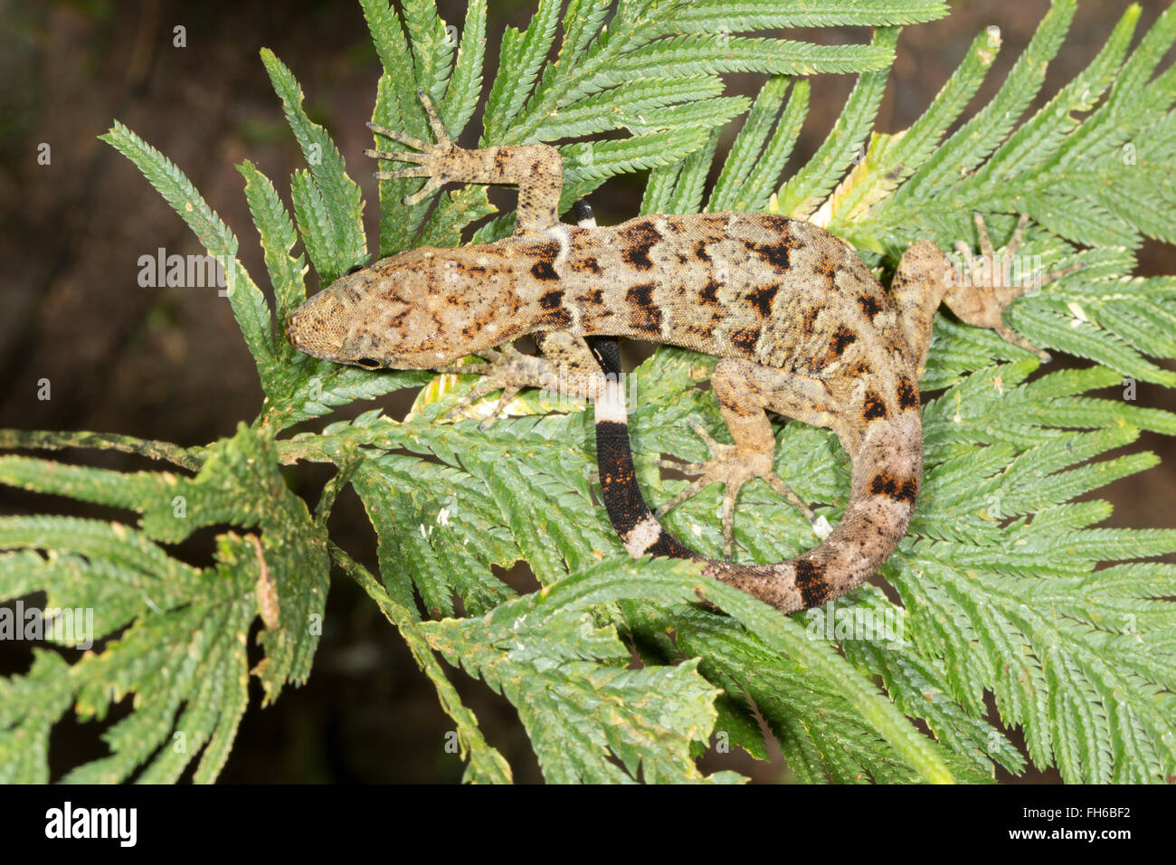Collared Gecko (Gonatodes concinnatus) female on a Selaginella plant in the rainforest understory, Pastaza province, - Stock Image