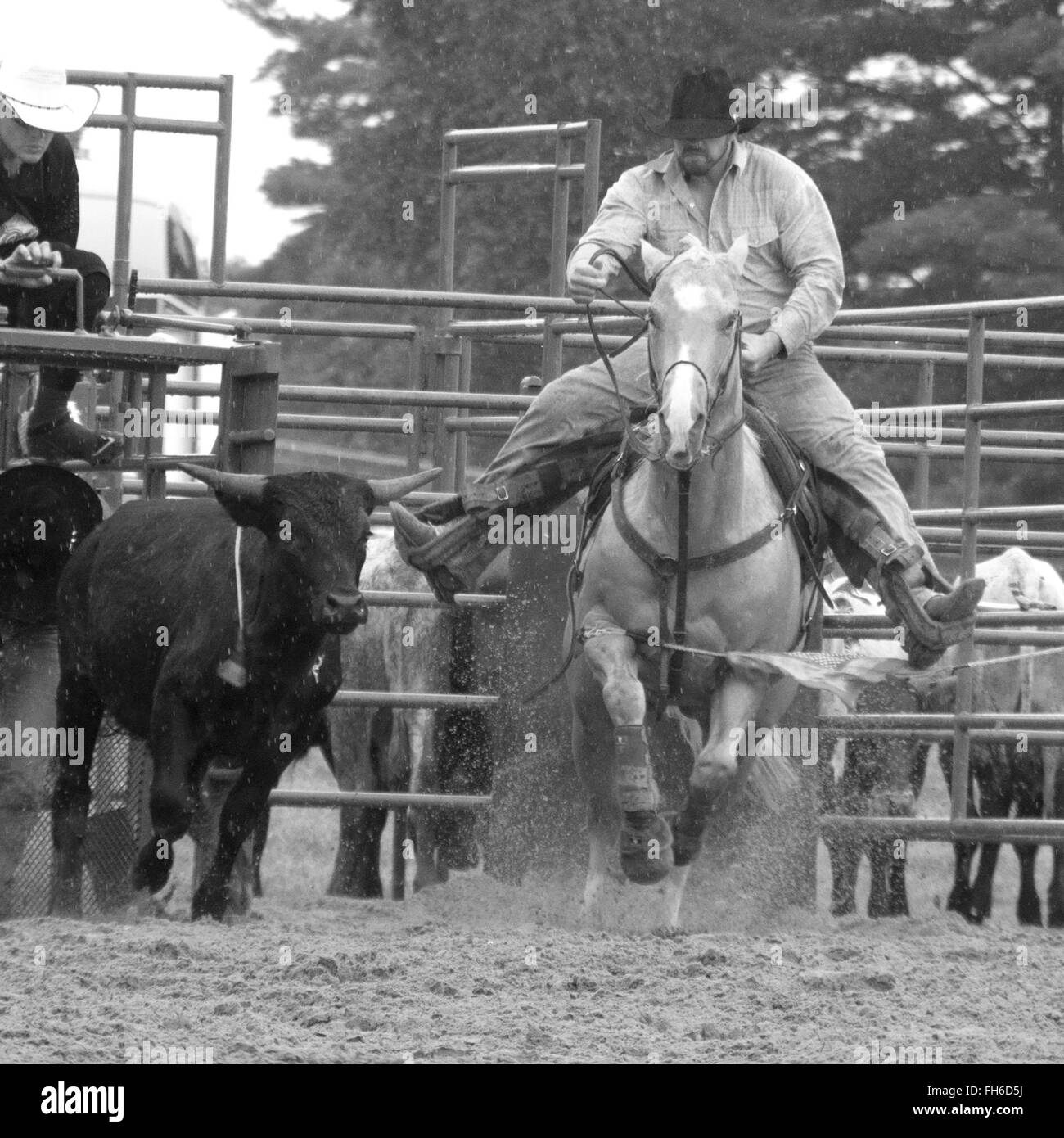 Steer wrestler at rodeo chasing steer in rainy weather - Stock Image