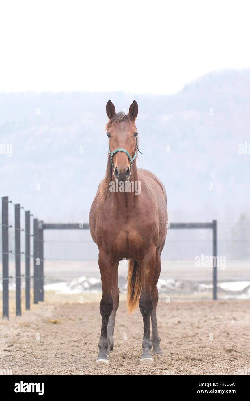 Standardbred bay filly staring at camera head on - Stock Image
