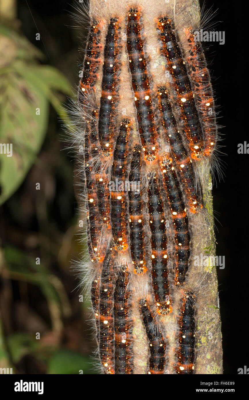 Group of lepidopteran larvae on a rainforest tree trunk in Pastaza province, Ecuador. - Stock Image