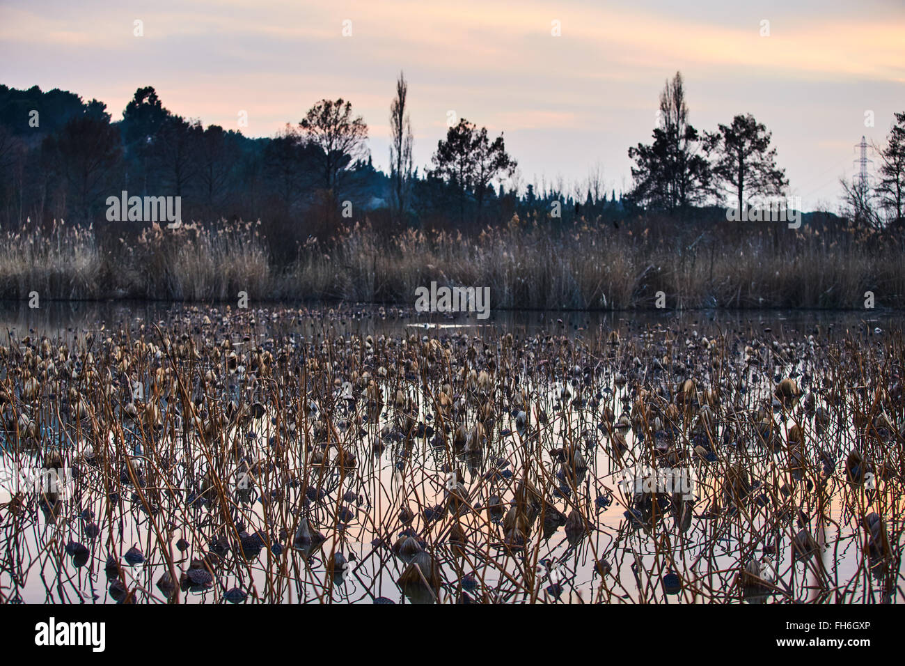 France mougin a lot of dried lotus flowers in the pond at sunset france mougin a lot of dried lotus flowers in the pond at sunset in provence a reflection of the sunset sky reeds dry grass mightylinksfo