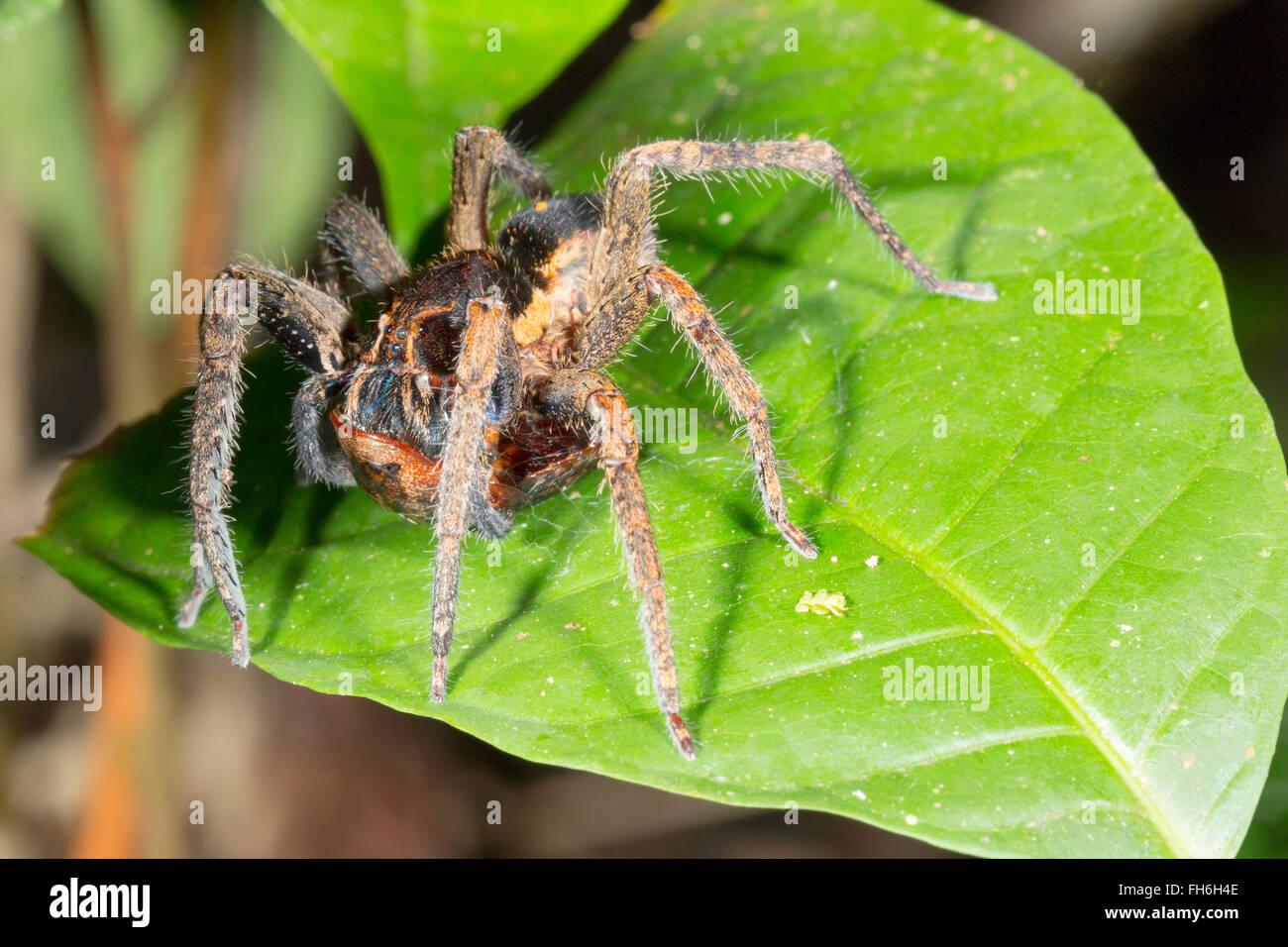New Leaf Island Spider