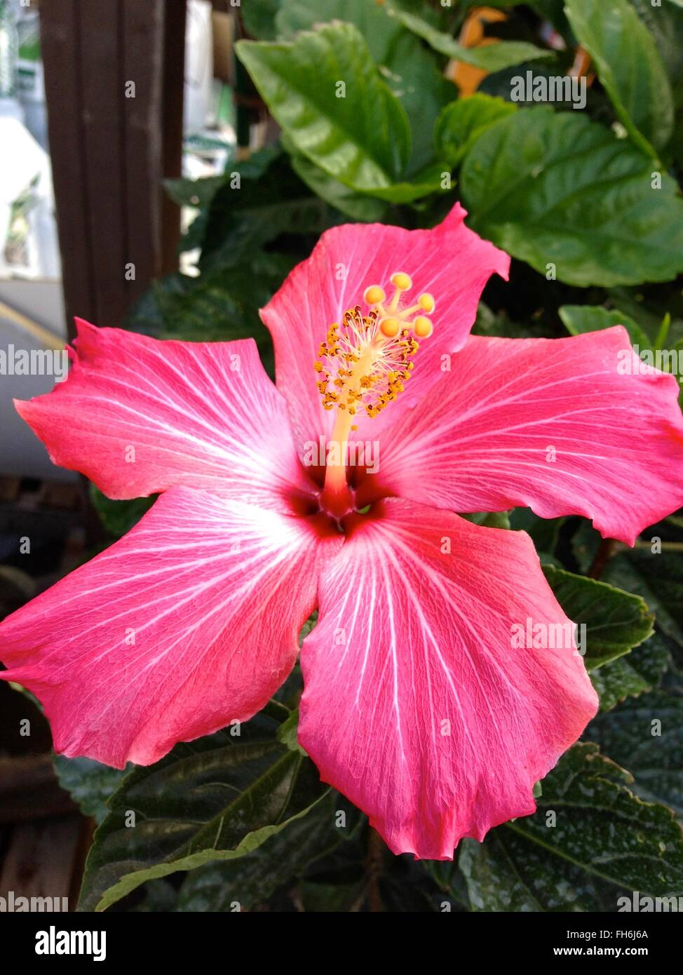 Pink And White Hibiscus Flower In Full Bloom Hawaii Usa Stock