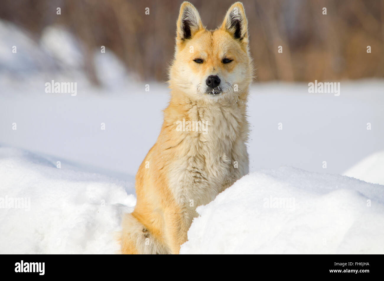 The watchdog in snow, a dog, a snowdrift, animal, house, in the village, in the winter, red, sits - Stock Image