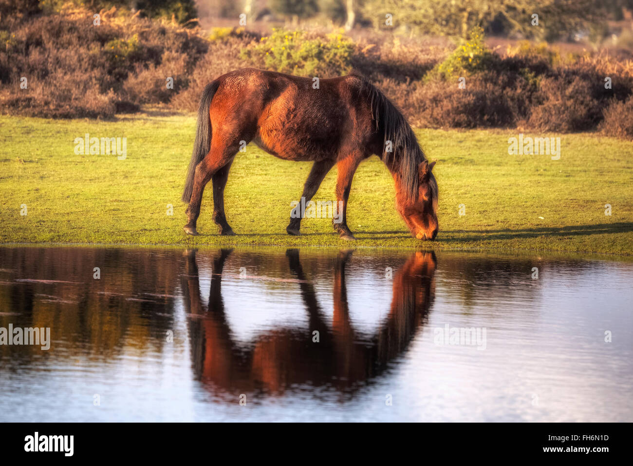 a wild New Forest pony drinking out of a pond near Lyndhurst, Hampshire, England, UK - Stock Image