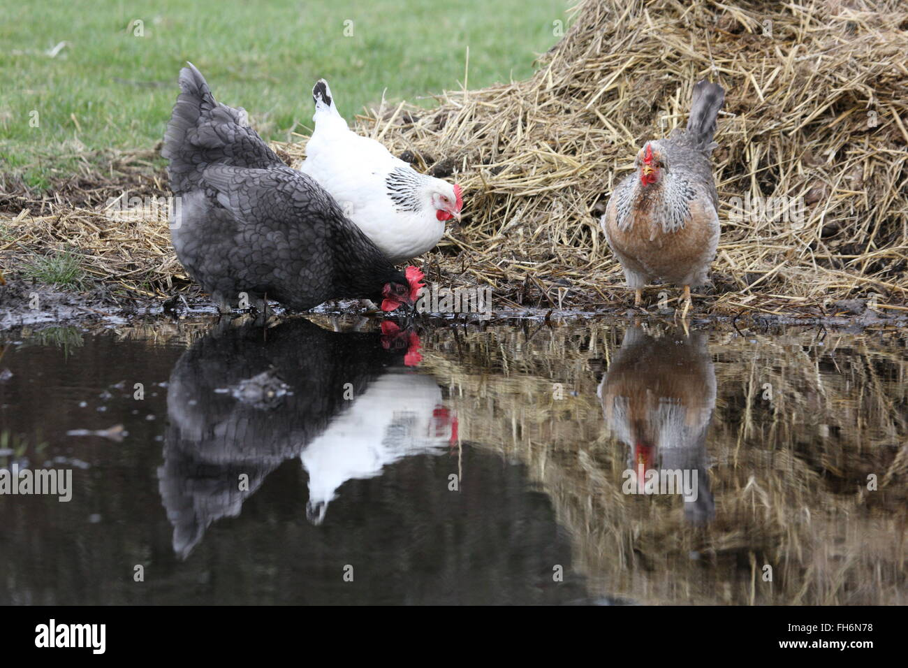 three hens around a puddle 3 different breeds, light Sussex ,sikie and a dark one,with reelections, in front of - Stock Image