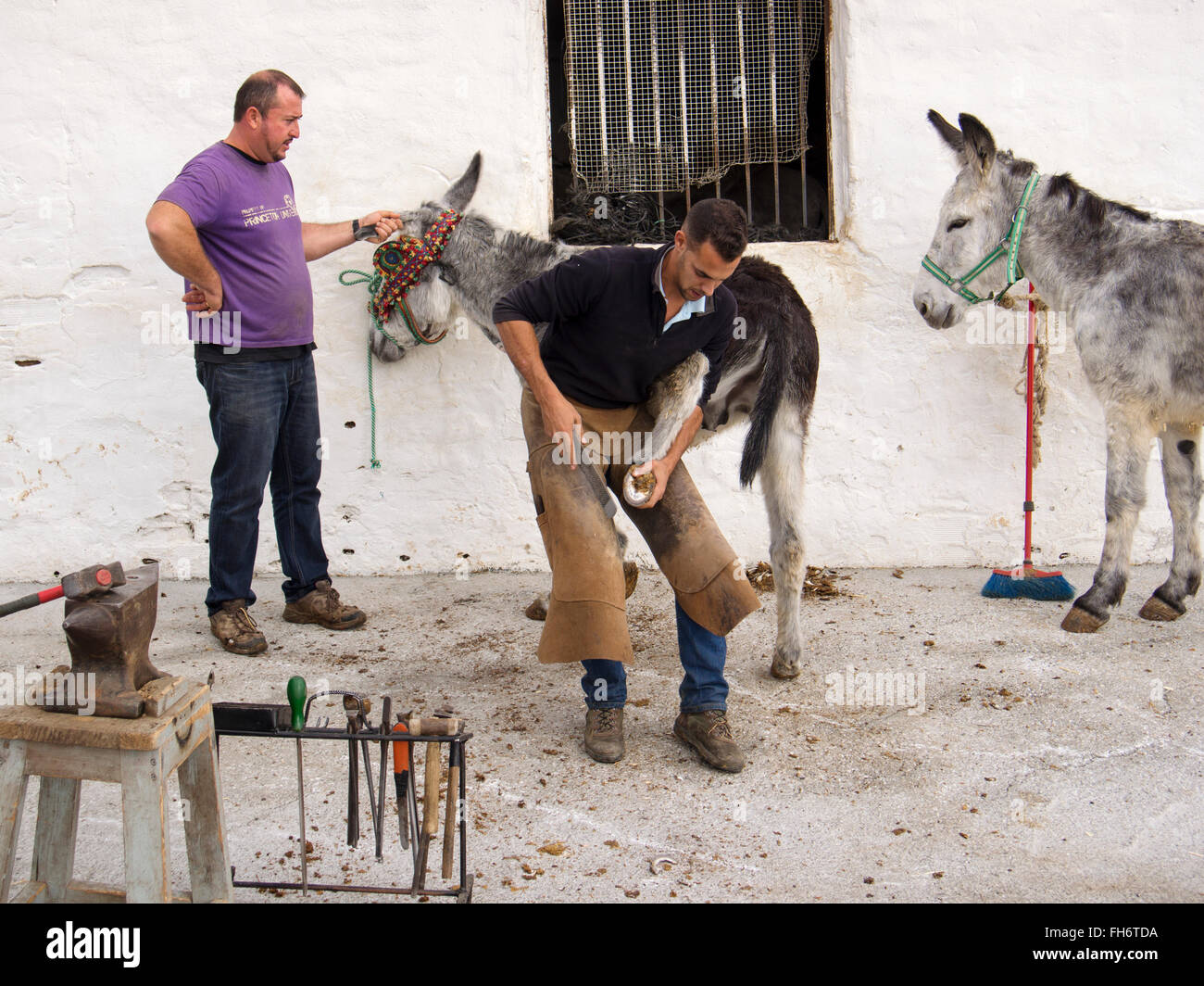 Blacksmith nailing horseshoes typical burro donkey taxi, white village Mijas, Malaga province Costa del Sol. Andalusia - Stock Image