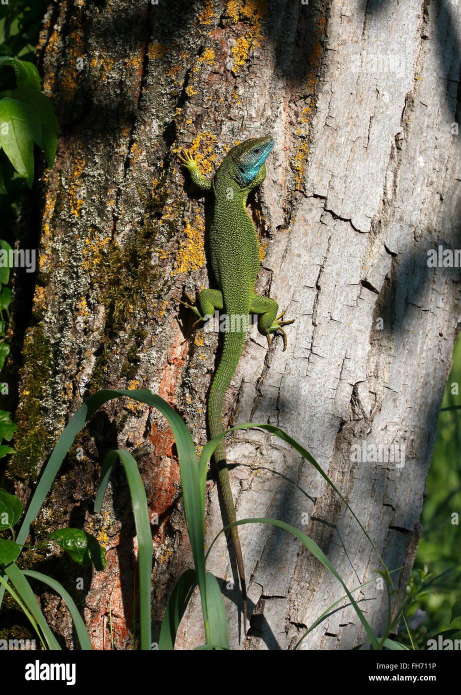 European green lizard (Lacerta viridis) male in mating dress, breeding plumage, basks on a tree trunk Stock Photo