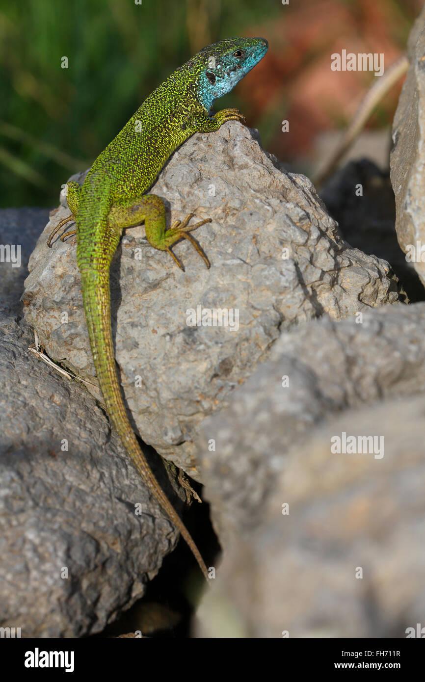 European green lizard (Lacerta viridis), male in mating dress, breeding plumage, sunning on rocks, Balaton Uplands Stock Photo