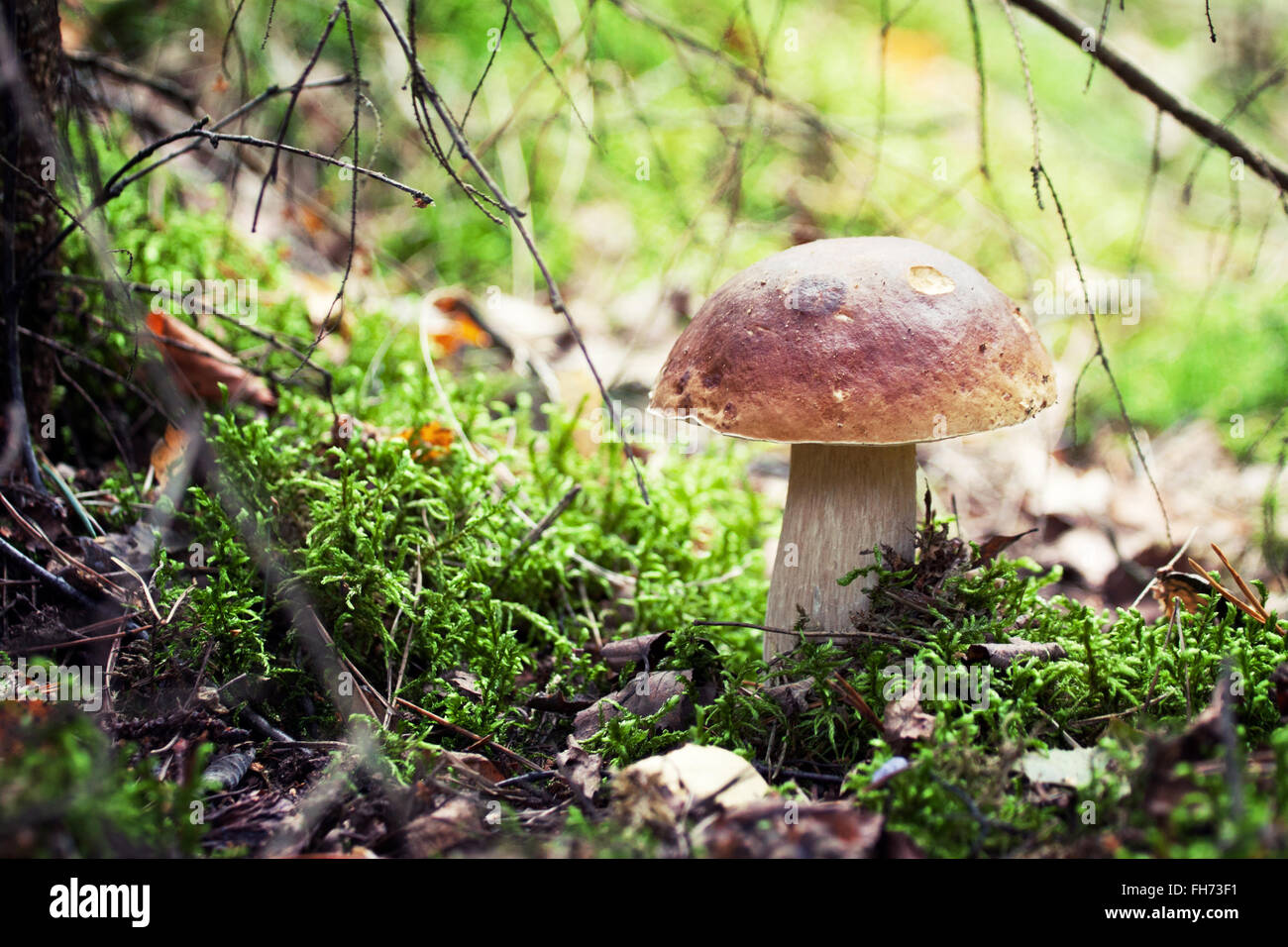 A very delicious and salubrious mushroom Porcini or Cep in it's natural habitat. - Stock Image