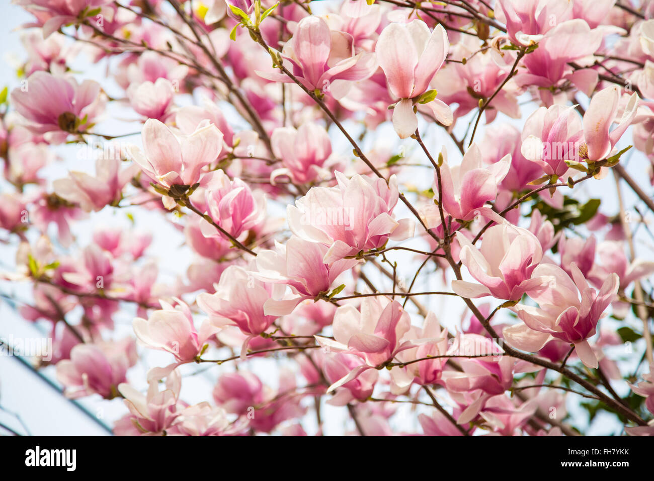 Cherry Blossoms bloom in early spring. - Stock Image
