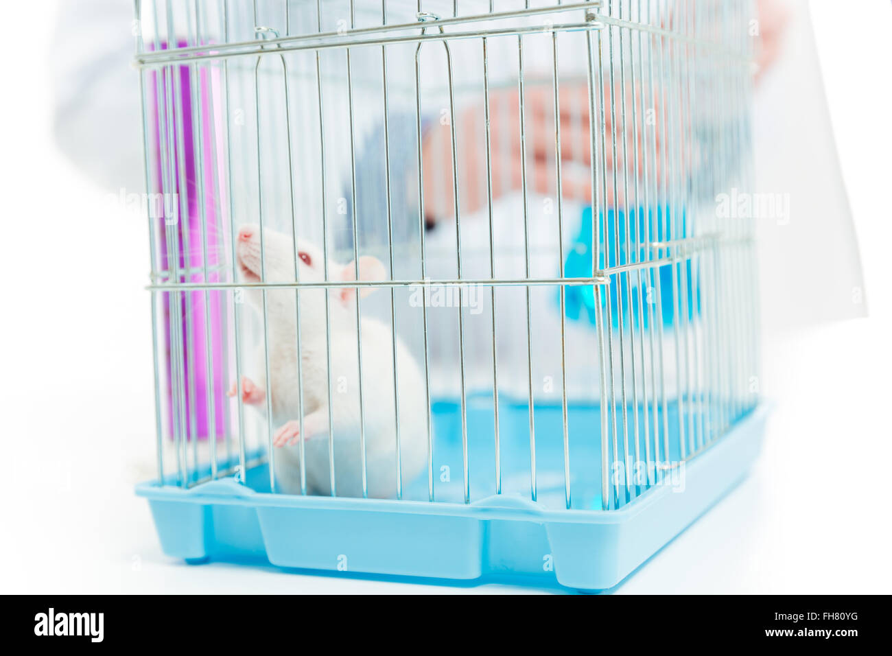 Closeup portrait of a rat in chemist laboratory - Stock Image