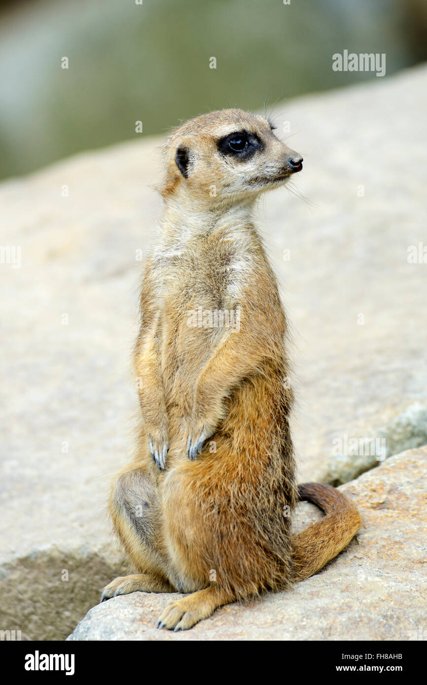 Meerkat (suricata suricatta) in Edinburgh Zoo, Scotland, UK - Stock Image