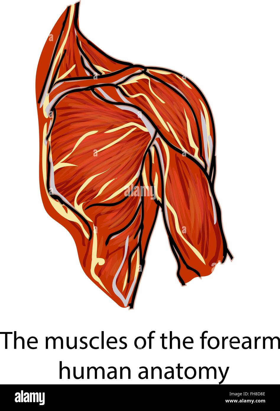 Muscles. Muscle fibers. Anatomy of the human hand. A structure of ...
