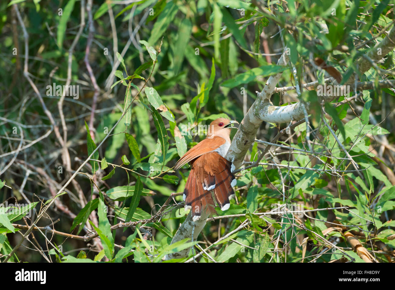 Guira Cuckoo (Guira guira), Pantanal, Mato Grosso, Brazil - Stock Image