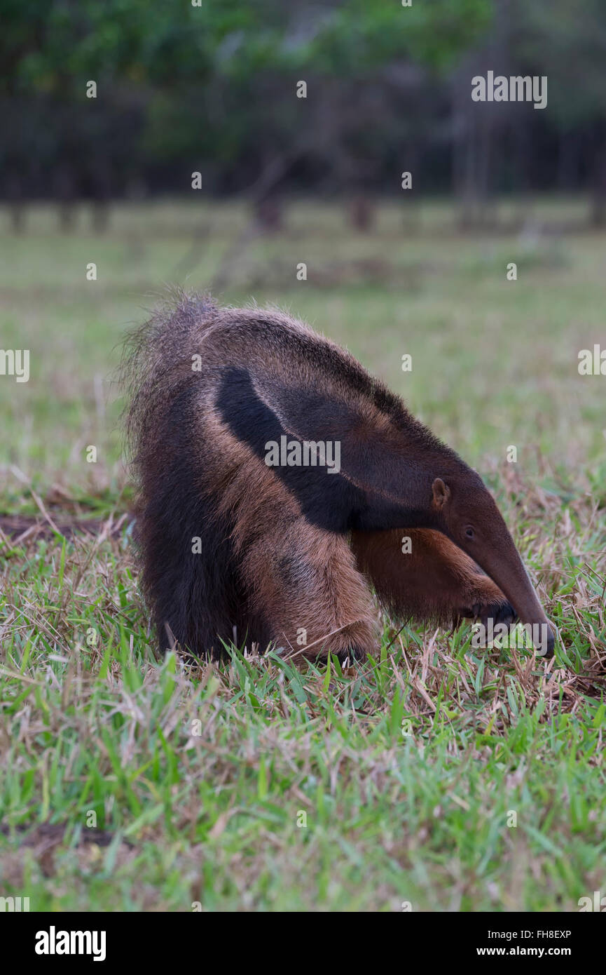 Giant Anteater (Myrmecophaga tridactyla) foraging and feeding in termite mound, Mato Grosso, Brazil - Stock Image