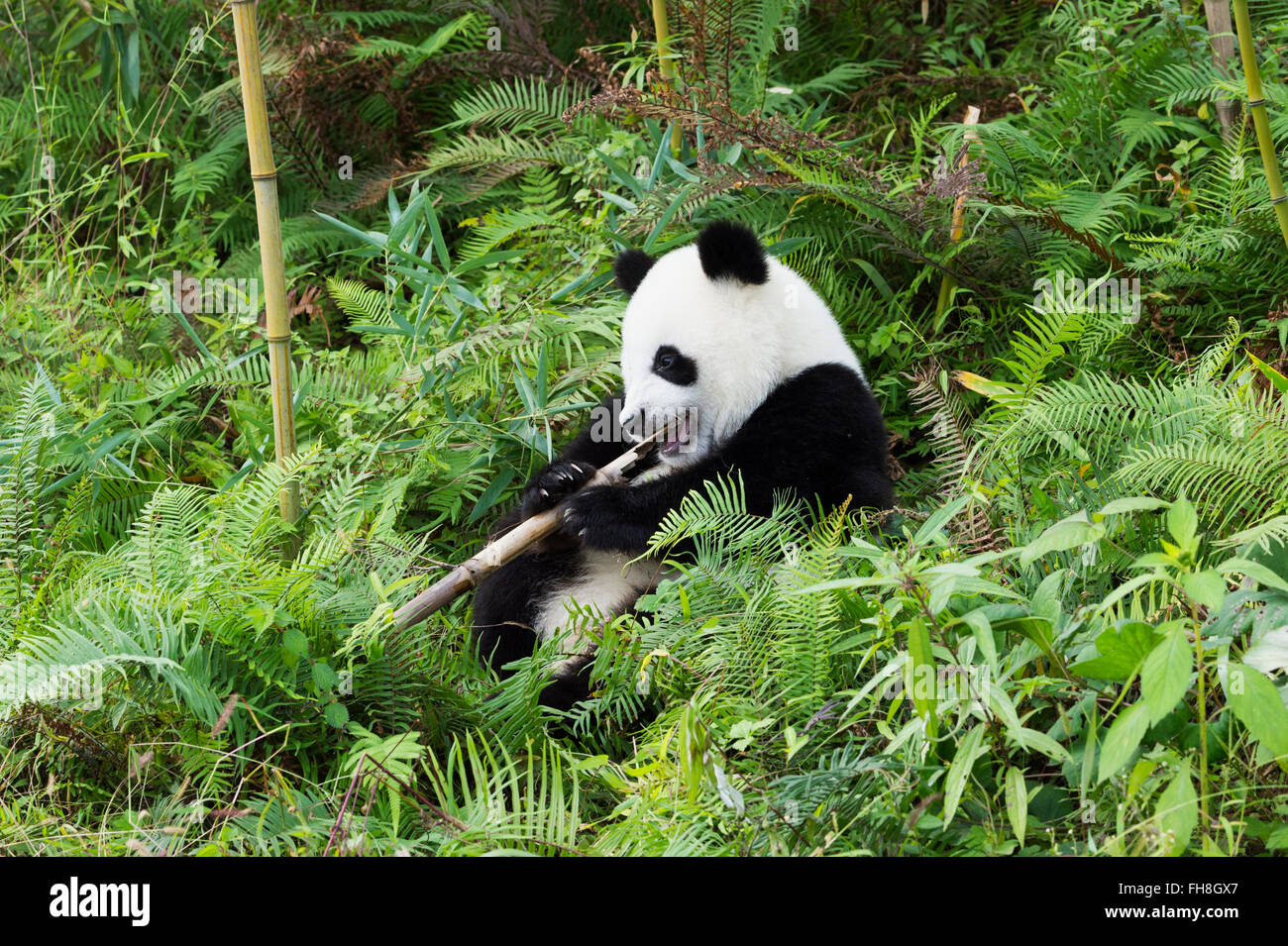 Two years aged young Giant Panda (Ailuropoda melanoleuca), China Conservation and Research Centre for the Giant Stock Photo