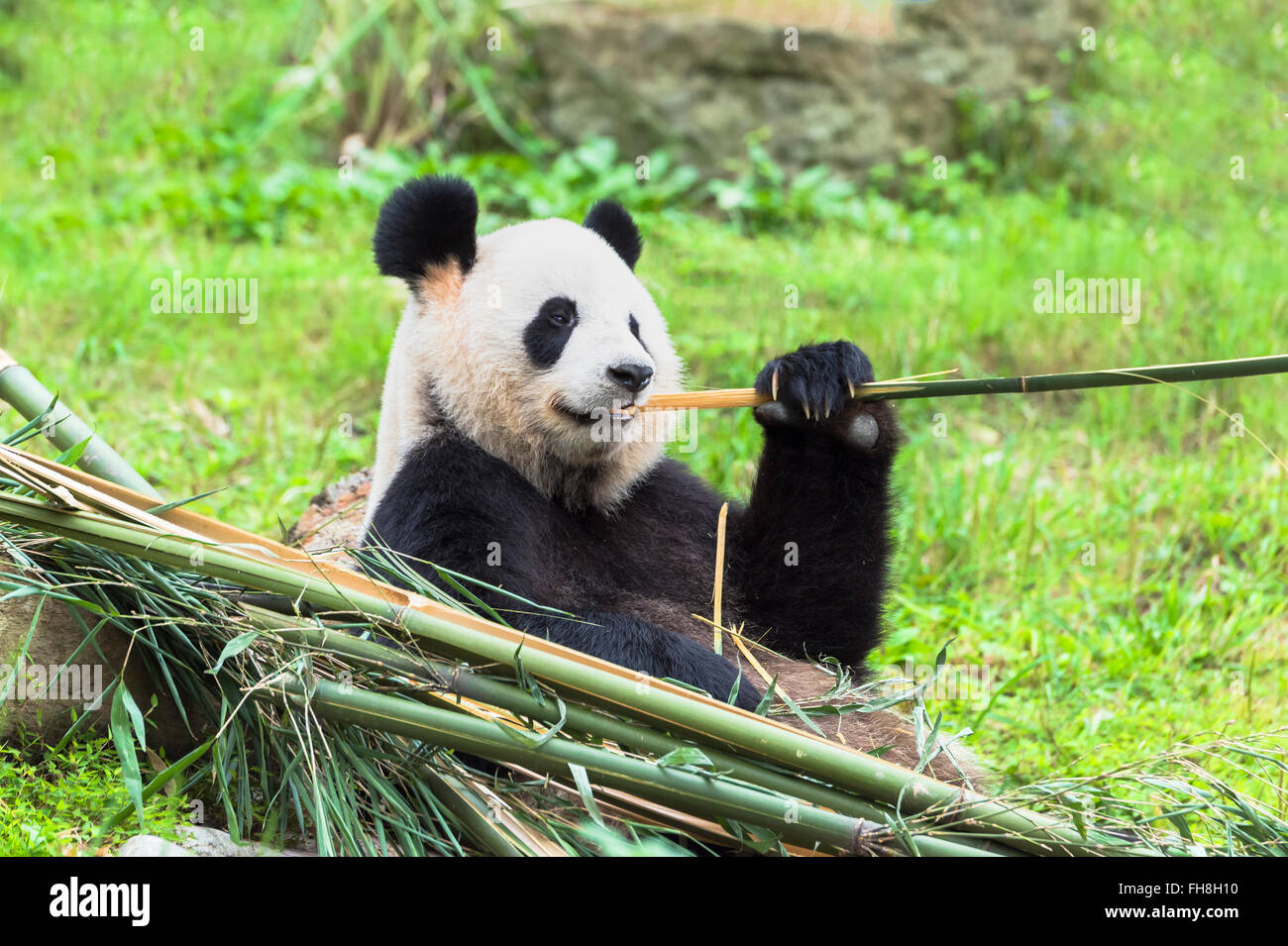 Giant Panda (Ailuropoda melanoleuca) eating bamboo, China Conservation and Research Centre for the Giant Pandas, - Stock Image