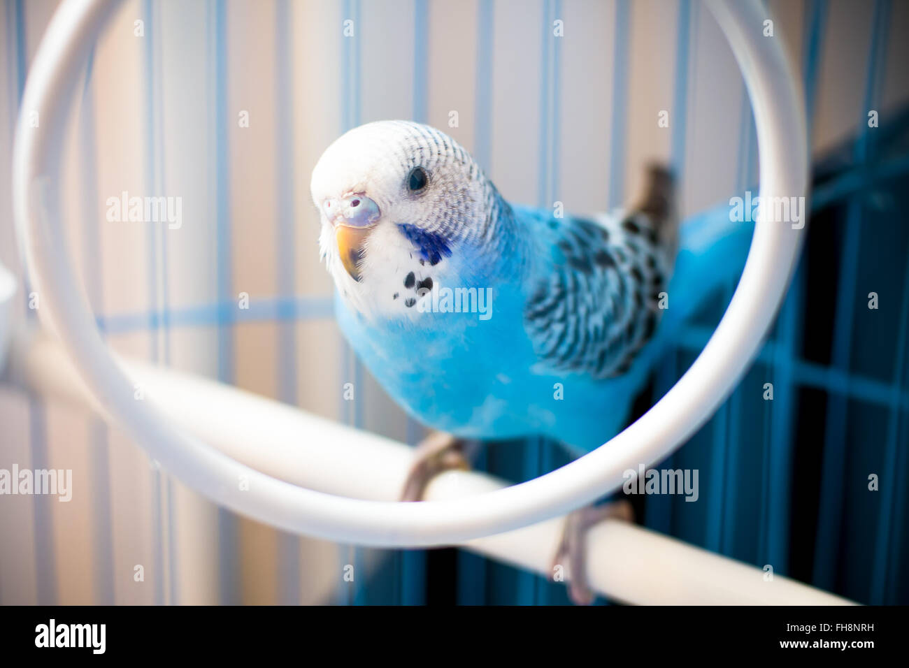 Portrait of a blue, male baby budgie, In a cage. Shallow depth of field - Stock Image