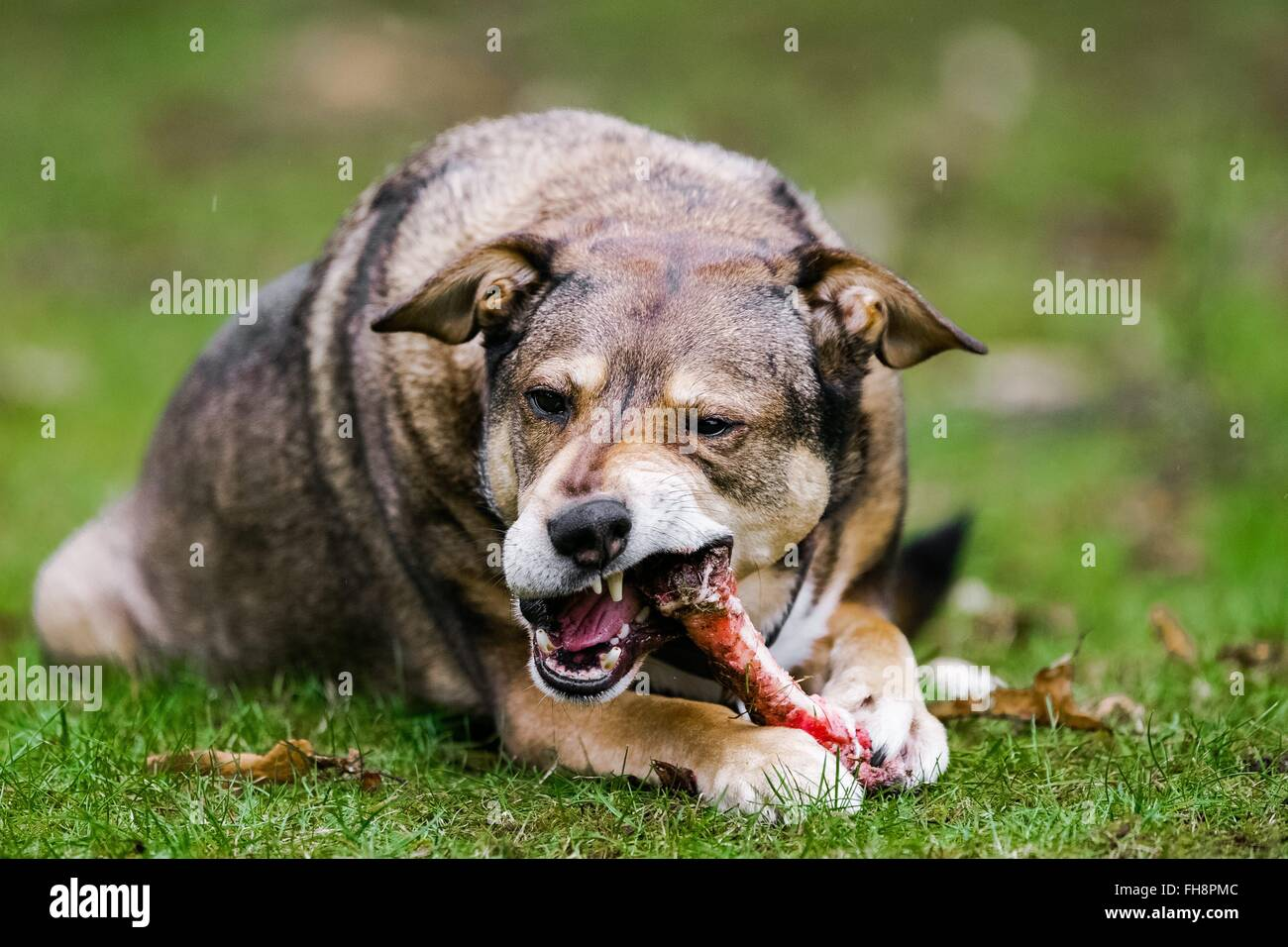 A dog eats a bone , photo: 2016, Februrary 15. Stock Photo