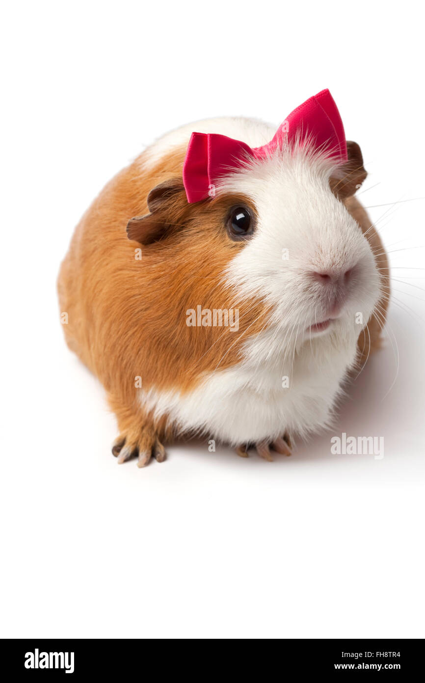 Guinea Pig with a pink bow on her head on white background - Stock Image