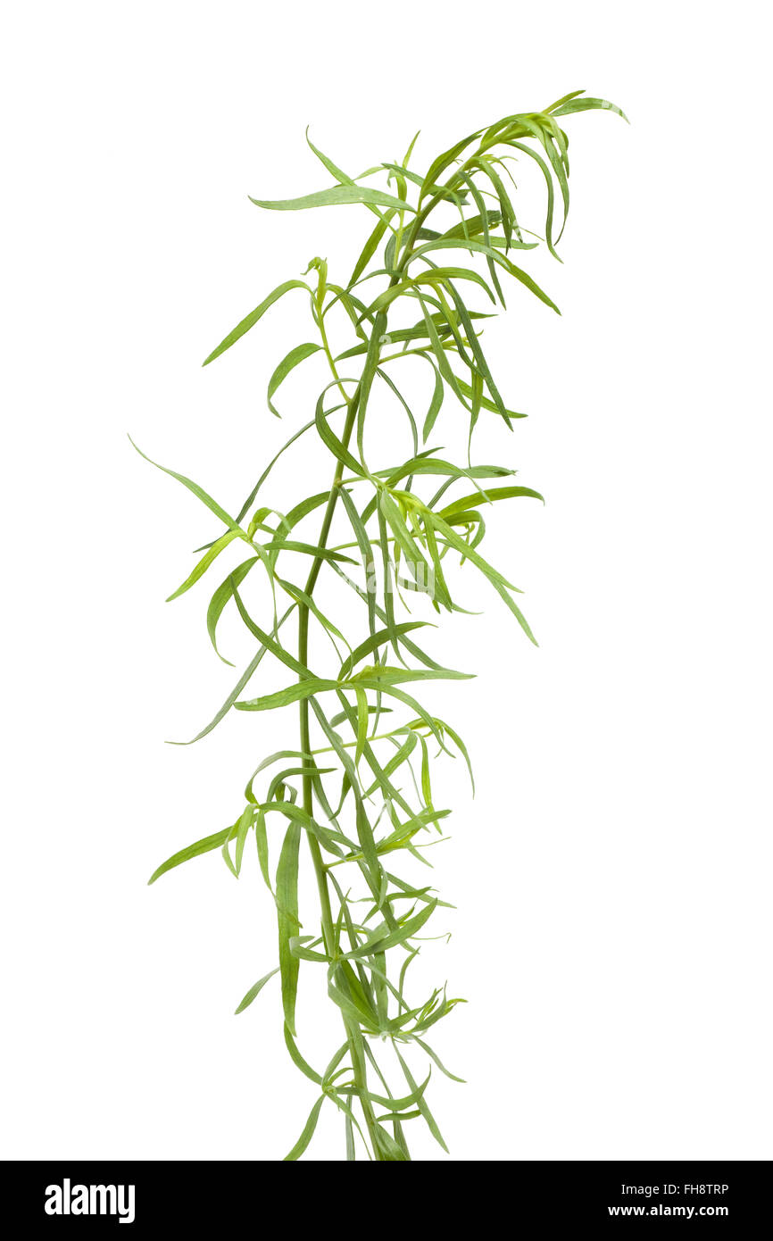Fresh Tarragon twig and leaves on white background - Stock Image