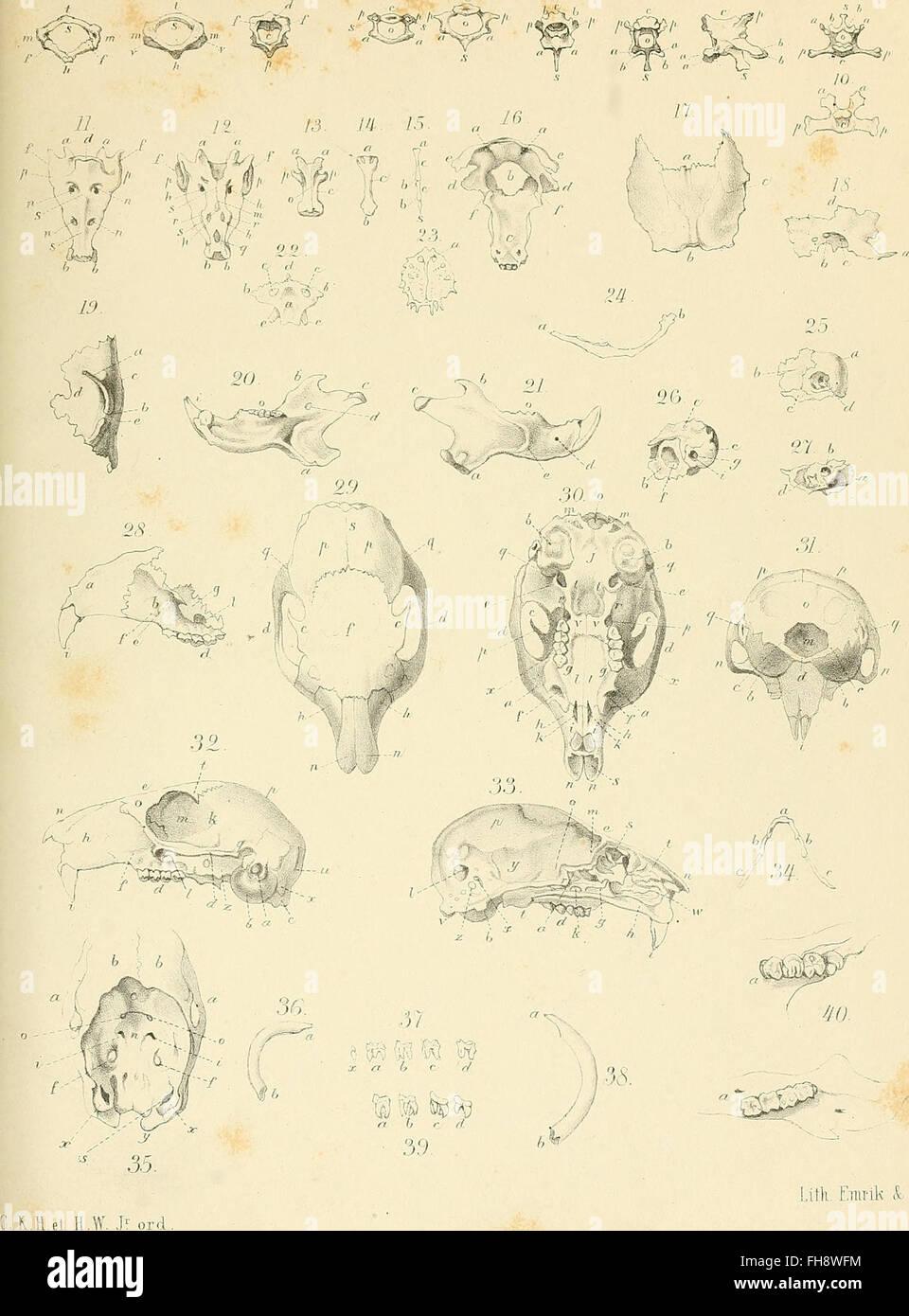 Die Osteologie und Myologie von Sciurus Vulgaris L., verglichen mit ...