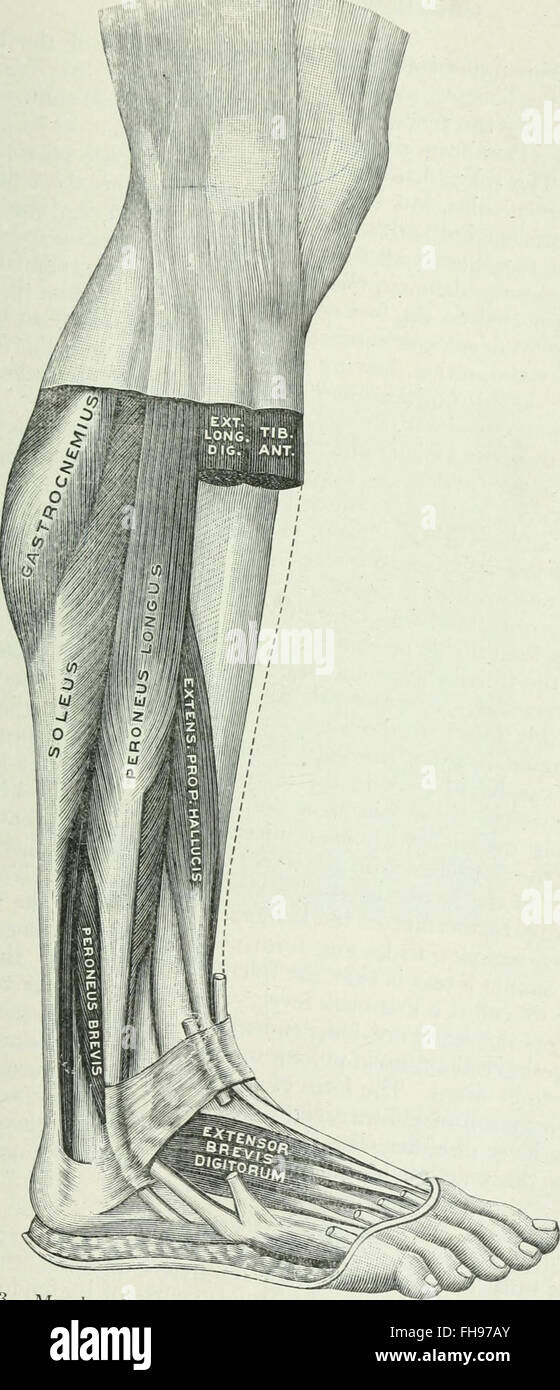 Applied Anatomy Kinesiology Mechanism Muscular Stock Photos ...