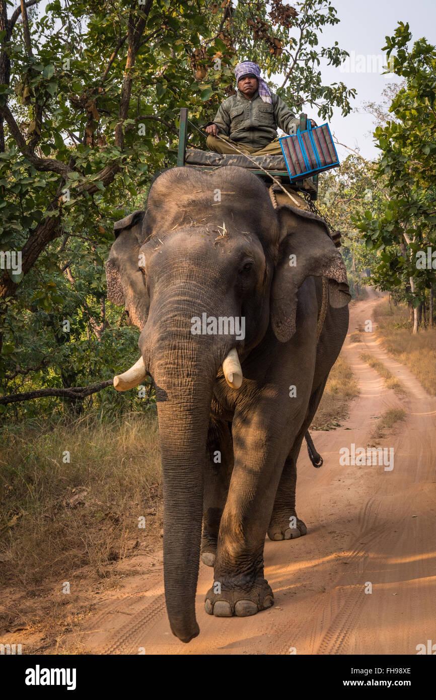 Park ranger patrolling on an elephant in Bandhavgarh National Park, India - Stock Image