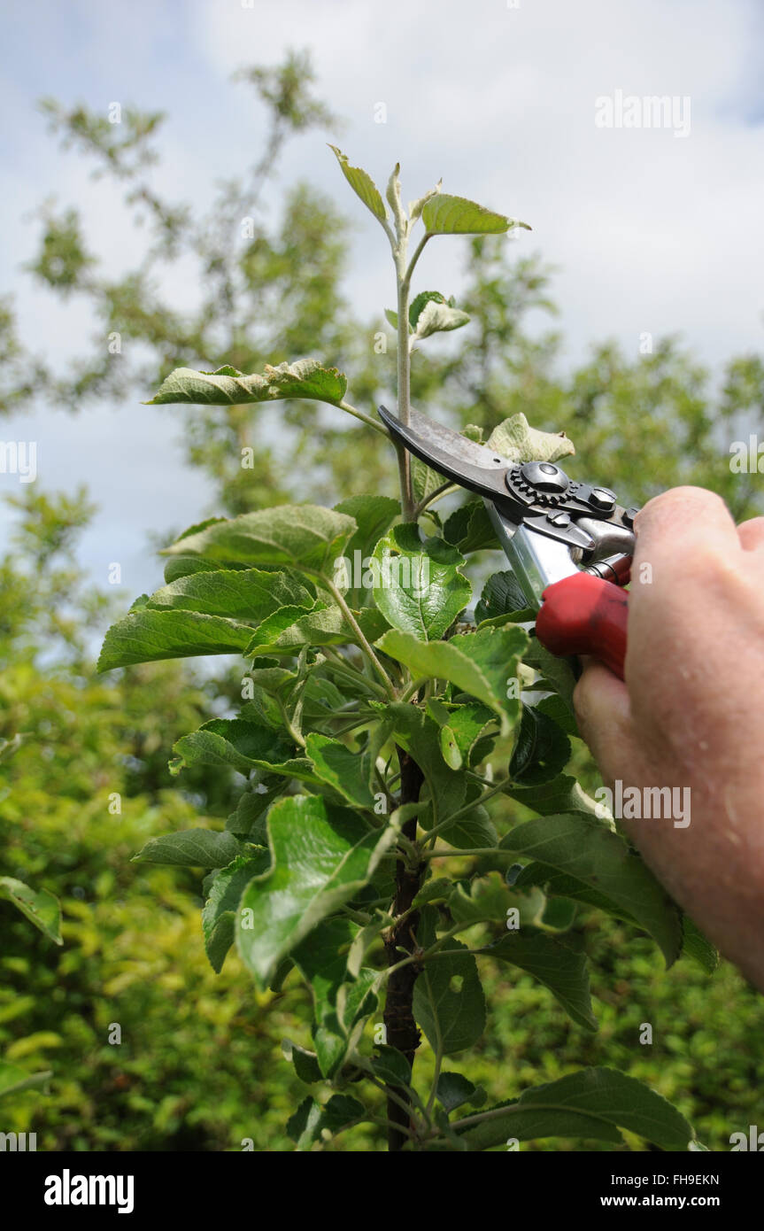 Apple tree pinching Stock Photo