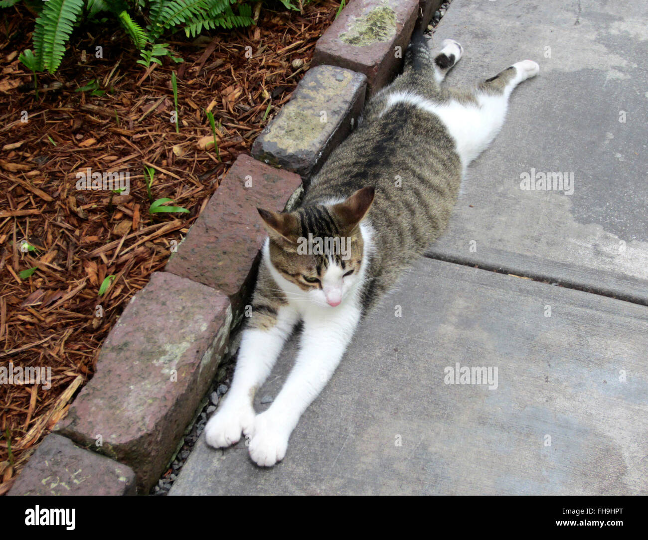 A six-toed cat stretches out on the grounds of The Ernest Hemingway Home and Museum in Key West, Florida. Stock Photo