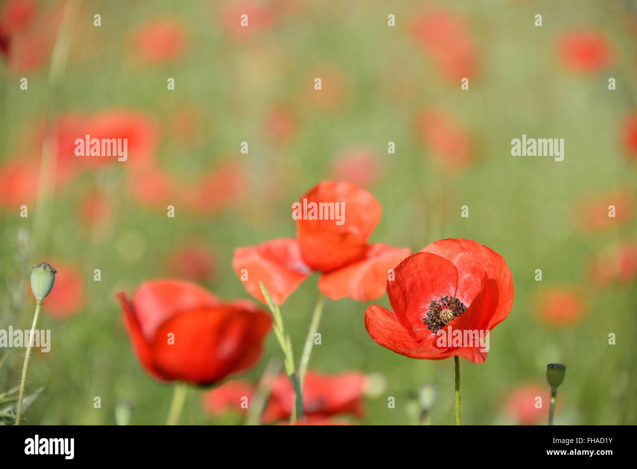 One sharp vibrant red poppy flower (papaver rhoeas) in a field filled with out-of-focus poppies as a symbol for - Stock Image