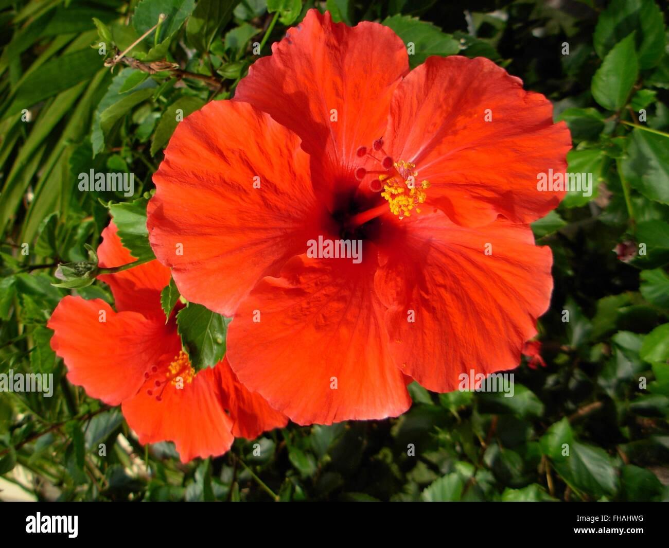 Red hibiscus flower in full bloom hawaii usa stock photo 96734556 red hibiscus flower in full bloom hawaii usa izmirmasajfo