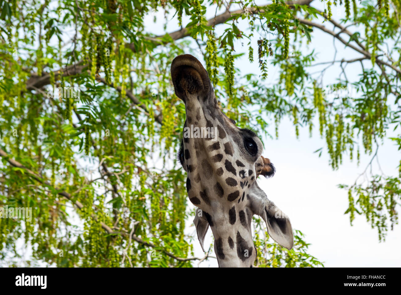 Rothschild's giraffe (Giraffa camelopardalis rothschildi) eating leaves - Stock Image