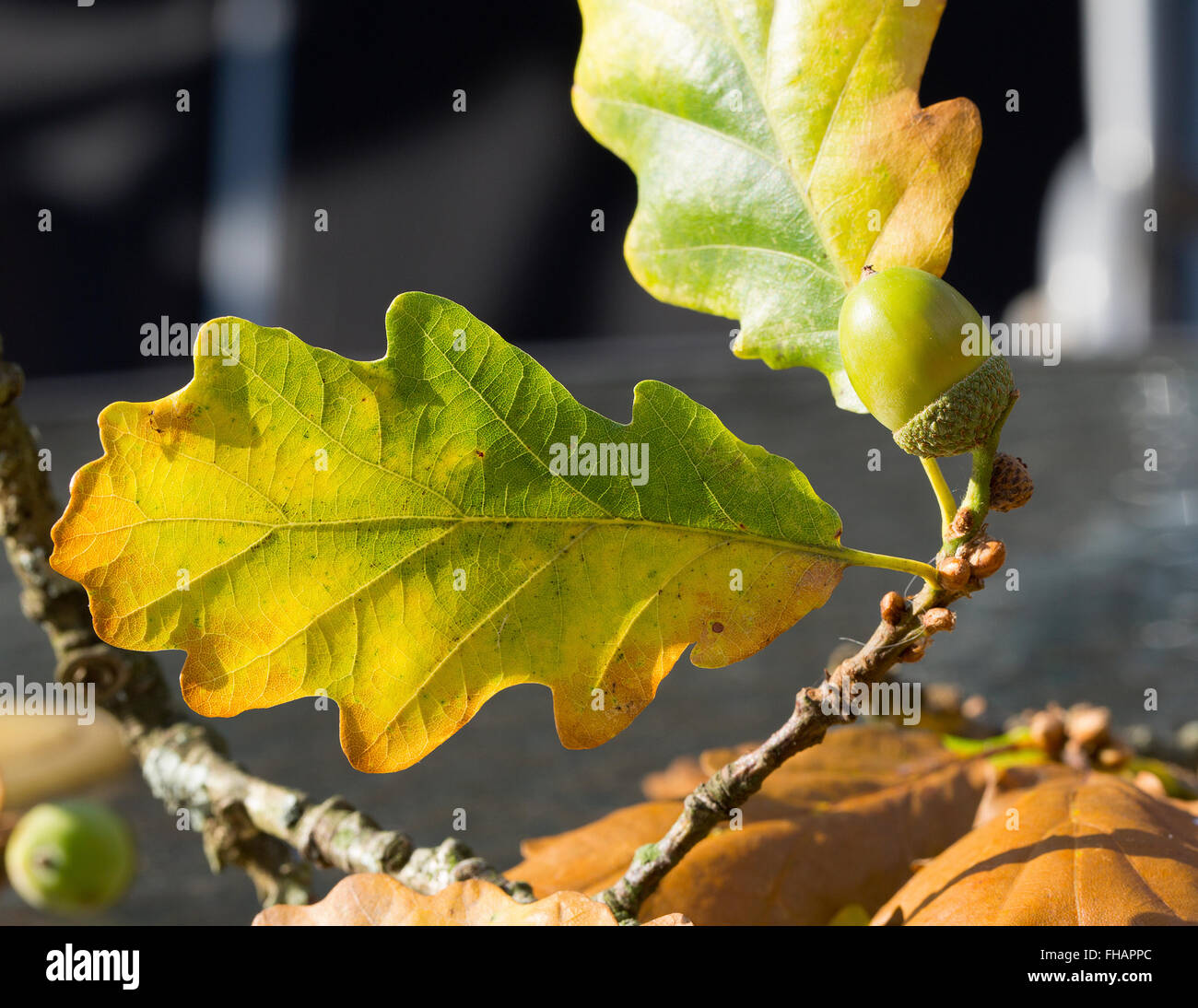 Acorn and Leaf in Autumn Sun - Stock Image