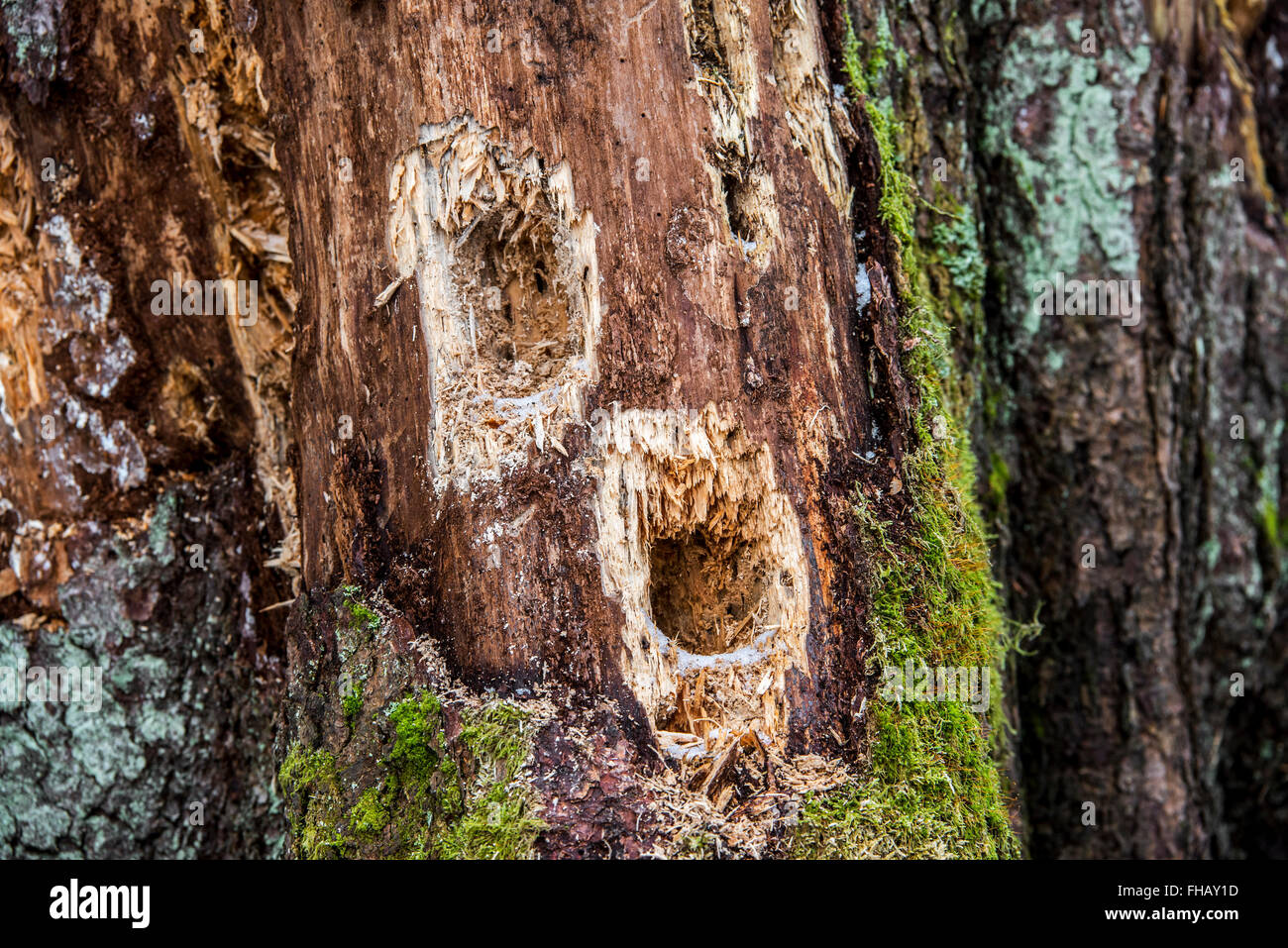 Several holes in tree trunk hammered by woodpecker looking for grubs in dead wood in forest - Stock Image