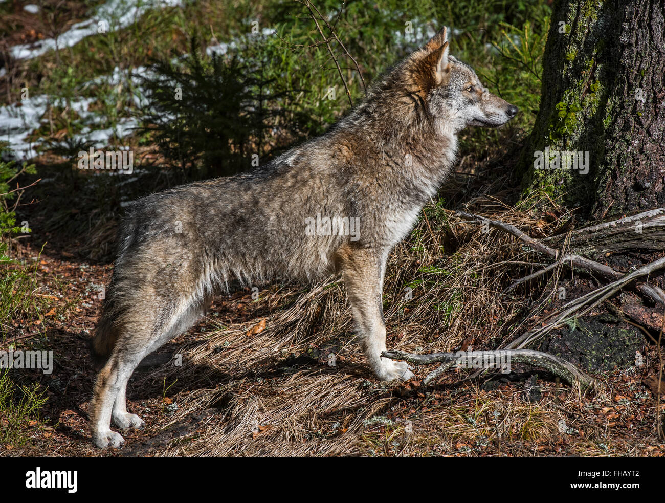 Solitary gray wolf / grey wolf / timber wolf (Canis lupus) in forest with melting snow in spring - Stock Image