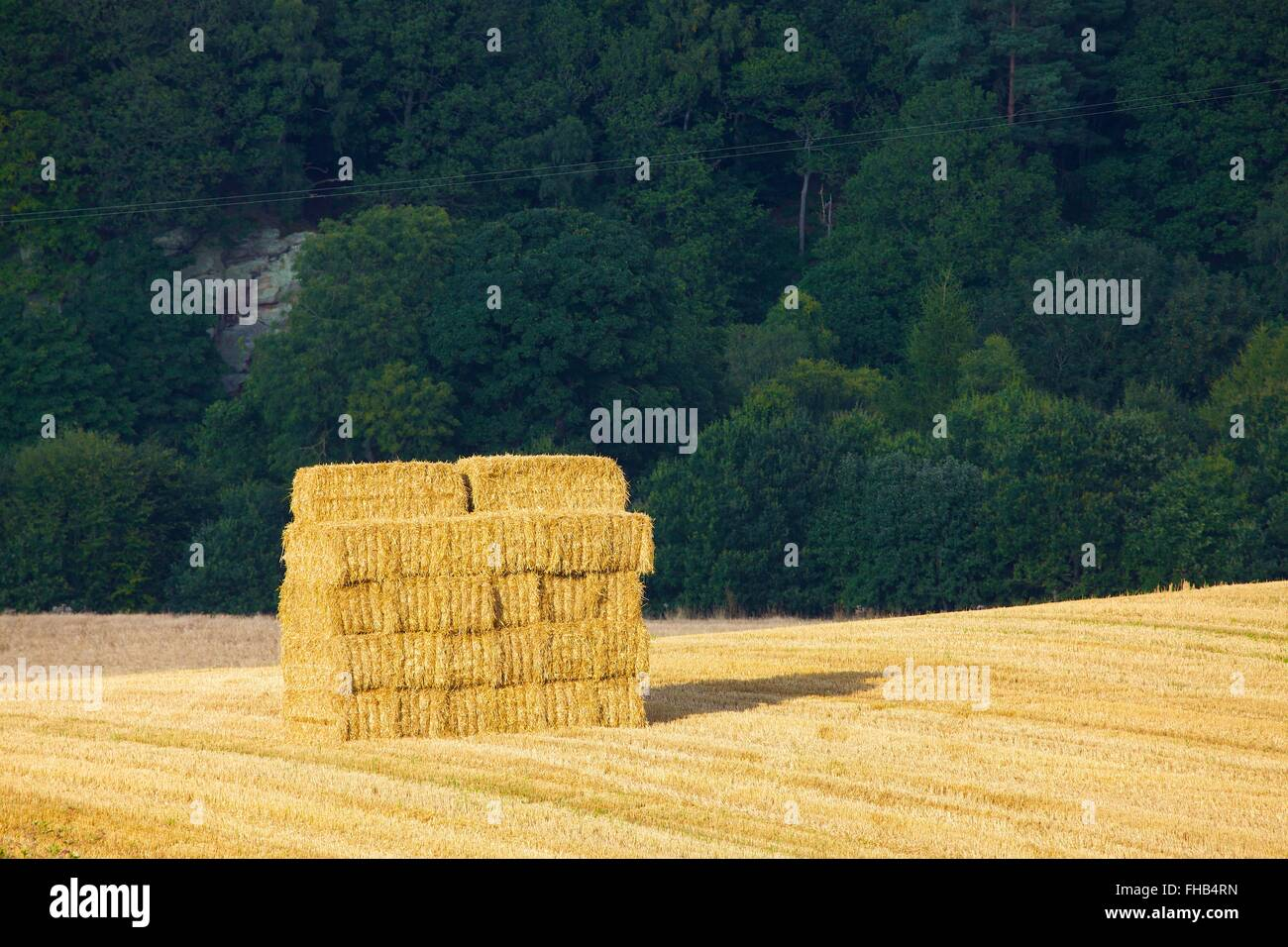 Stack of square hay bails in harvested field. Woodland background. - Stock Image