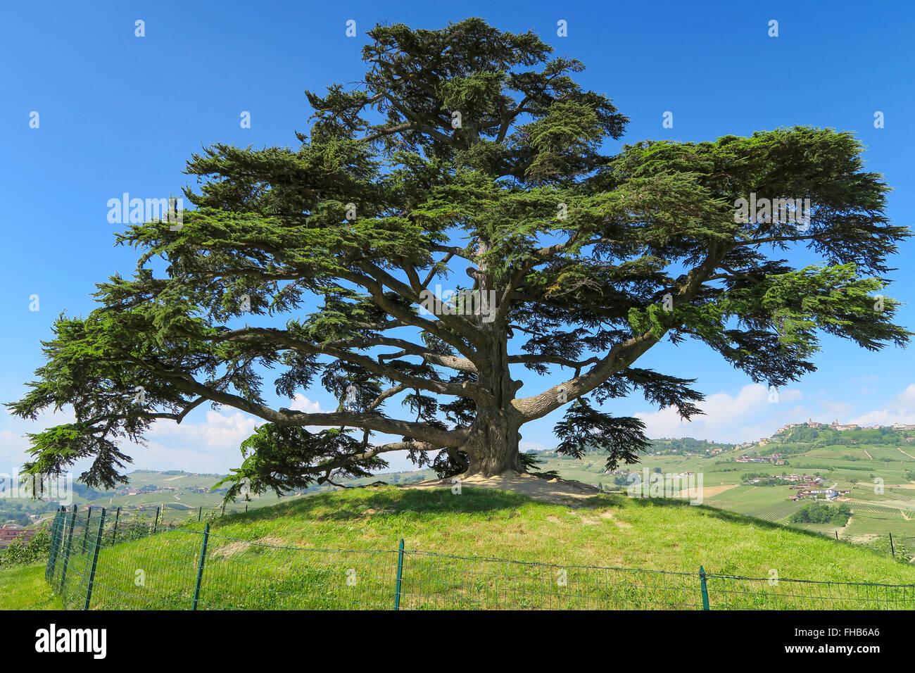 Baum in Mitten der Weinberge - Stock Image