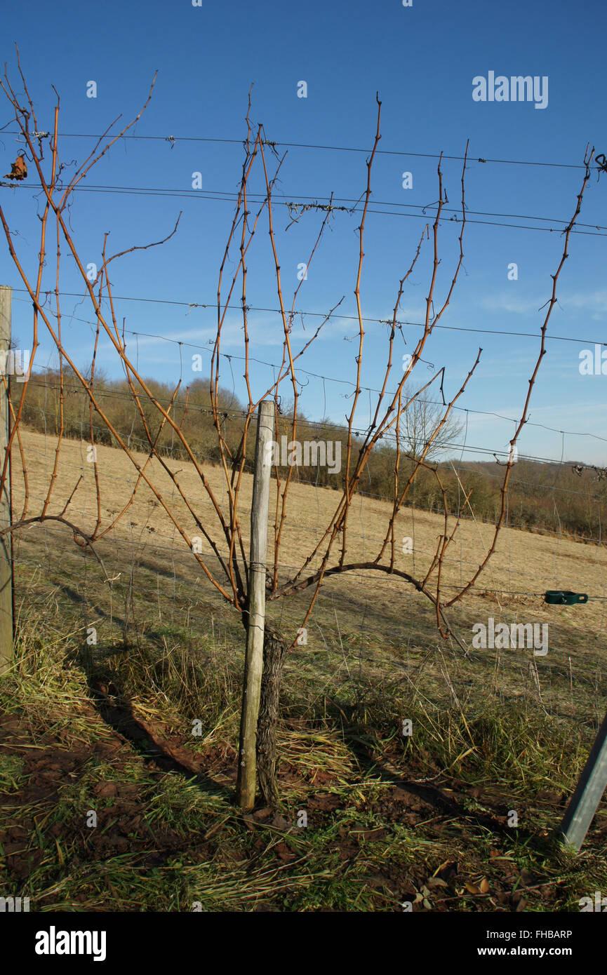 Vitis vinifera, grape vine, befor pruning Stock Photo