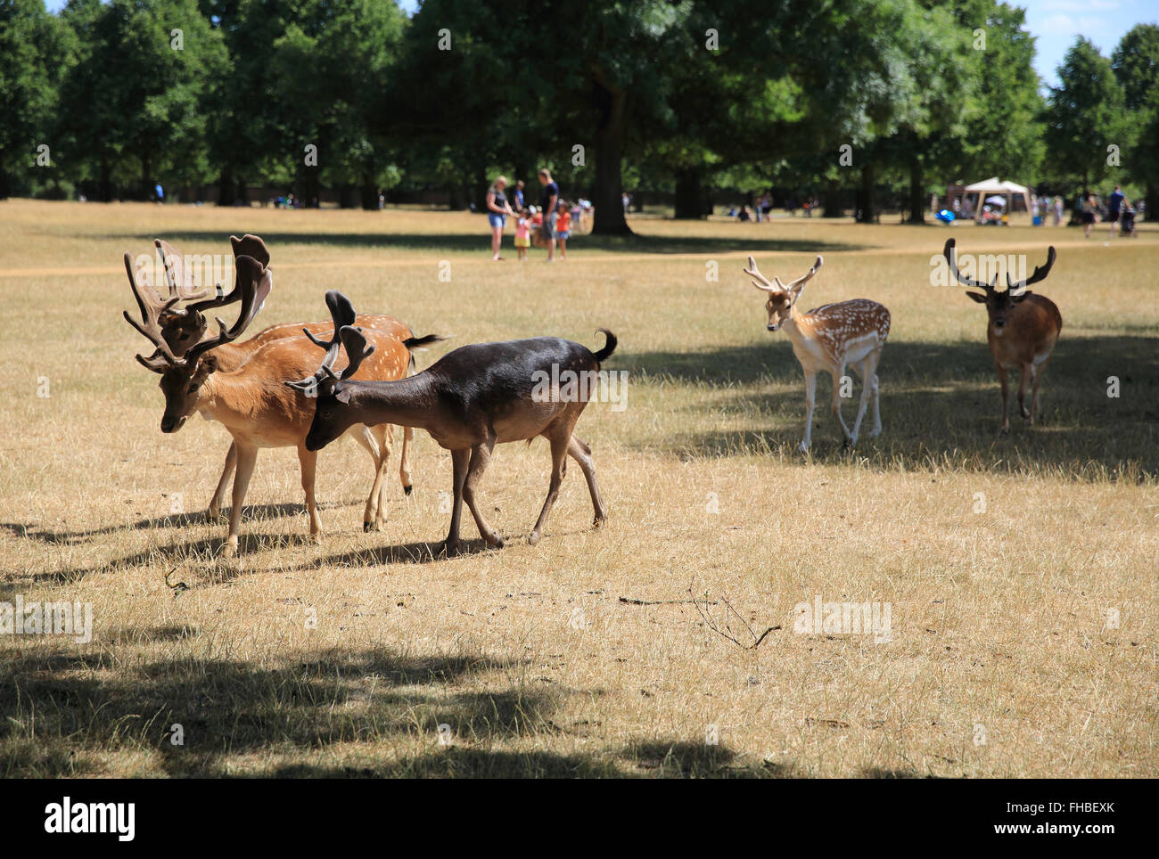 Pretty fallow deer in Royal Bushy Park, families picnicking behind, in Richmond, London, UK - Stock Image