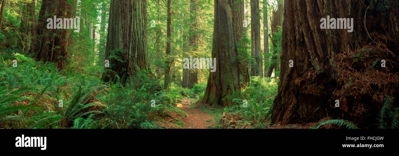 Pathways through old growth Sequoia trees in Redwood forest on Northern California Coast - Stock Image