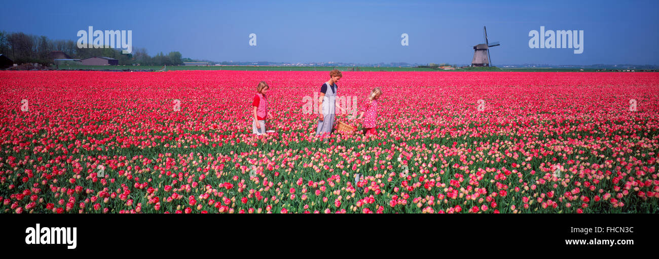 Panoramic image of mother and daughters in field of red tulips near Alkmaar with windmill in Holland - Stock Image