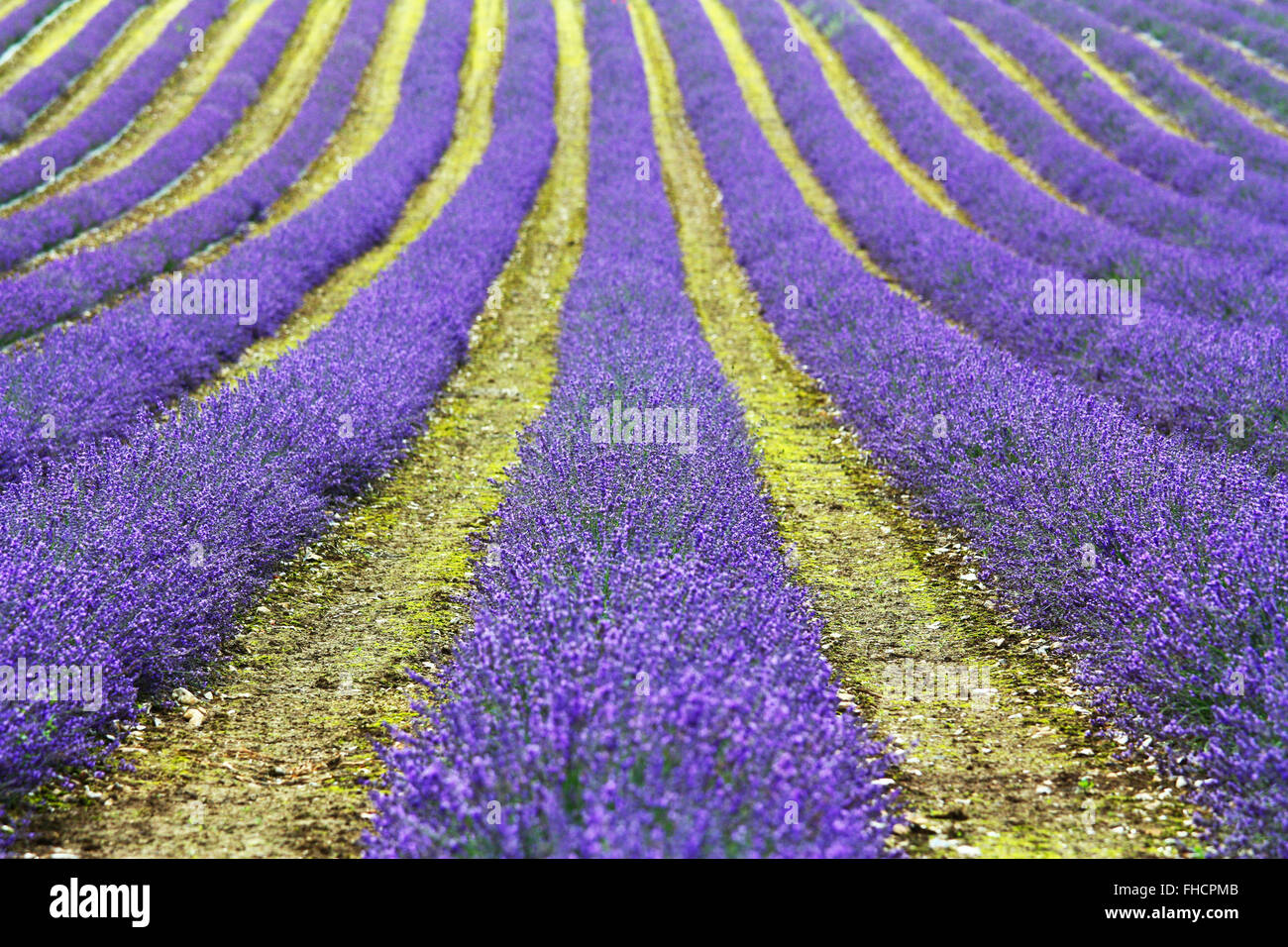 Lavender flowers field Stock Photo