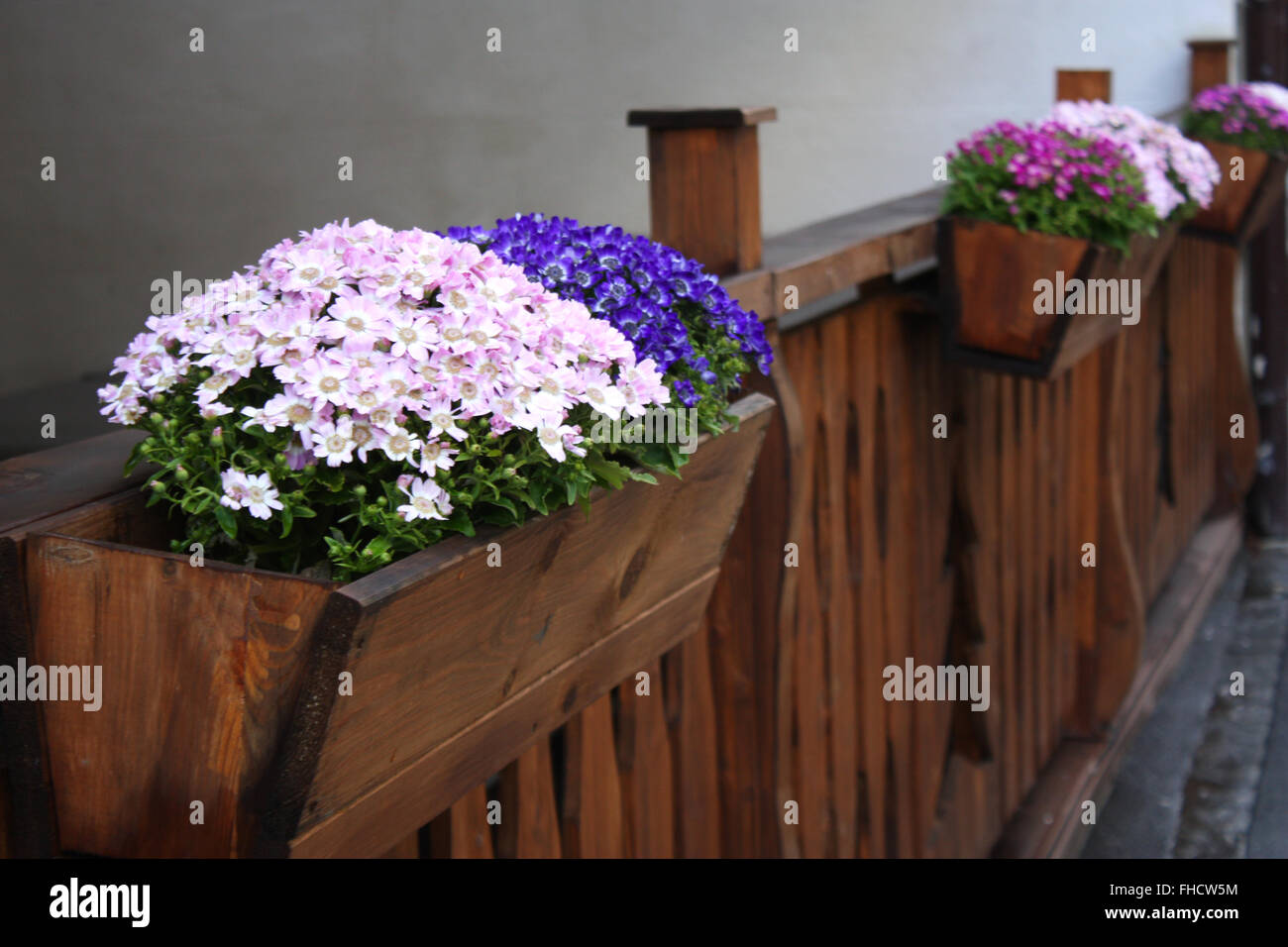 Colourful aster flowers in wooden containers Stock Photo