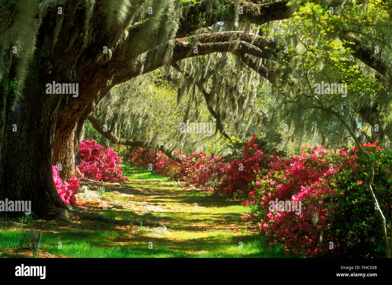 Old cypress trees with hanging Spanish moss and a variety of colorful flowers in South Carolina USA - Stock Image