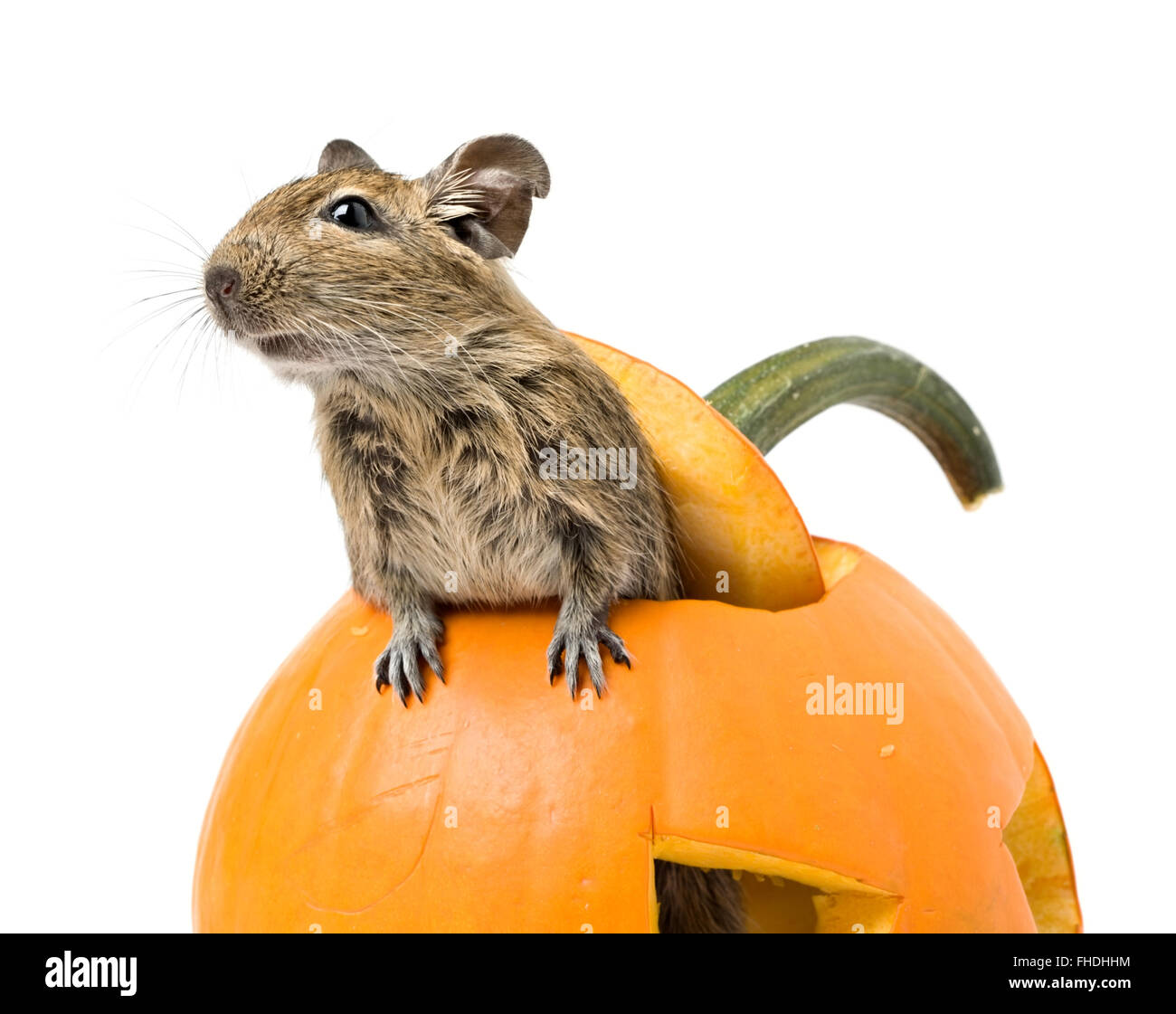 Halloween pumpkin with funny mouse inside isolated on white - Stock Image